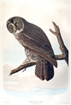 Great Cinereous Owl Audubon Print -- Measures 23.5 x 36.5