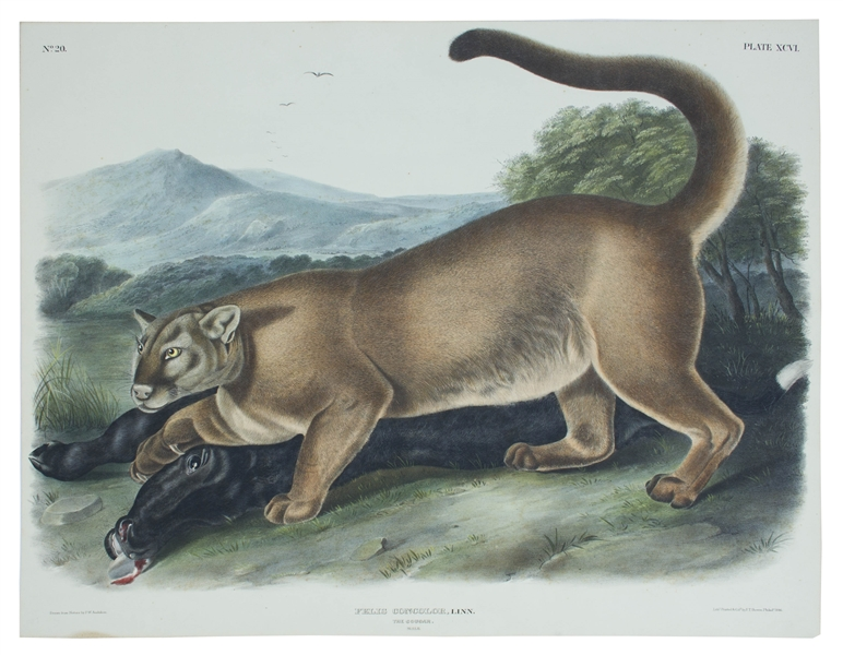 John Audubon 1846 ''The Cougar'' Lithograph From ''The Viviparous Quadrupeds of North America'' -- Measures 20'' x 26''