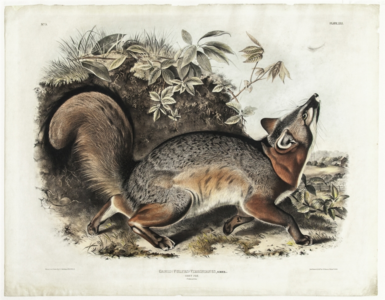 Hand-Colored ''Grey Fox'' Lithograph From the 1843 Edition of John James Audubon's ''The Viviparous Quadrupeds of North America'' -- Measures 28'' x 21.75''