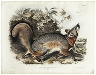 Hand-Colored Grey Fox Lithograph From the 1843 Edition of John James Audubons The Viviparous Quadrupeds of North America -- Measures 28 x 21.75
