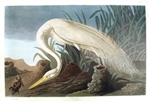 White Heron Print by Artist John James Audubon -- Birds of America Collection -- Large Sheet Measures 39.5 x 26.5